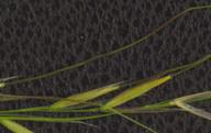 Nassella lepida