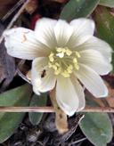 Lewisia kelloggii ssp. hutchisonii