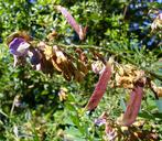 Lathyrus polyphyllus