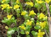 Eriophyllum multicaule