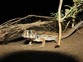 Keyserling's Plate Tailed Gecko
