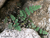 Cheilanthes parryi