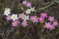 Linanthus parviflorus
