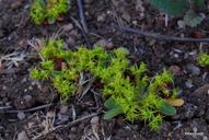 Chorizanthe procumbens