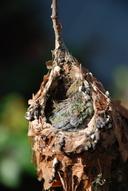 Cynanthus latirostris