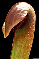 Sarracenia minor var. okefenokeensis