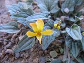 Viola purpurea ssp. venosa