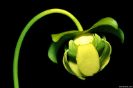Sarracenia purpurea ssp. purpurea f. heterophylla