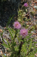 Cirsium hydrophilum var. vaseyi