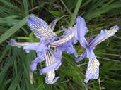 Iris longipetala