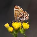 Callophrys eryphon