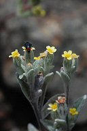 Eriophyllum nubigenum