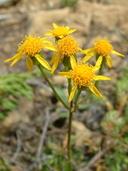 Packera aurea (L.) A.& D. Löve (=Senecio aureus L.) séneçon doré [Golden ragwort]