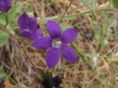 Githopsis pulchella ssp. pulchella