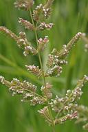 Beckmannia syzigachne