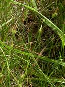 Carex lemmonii