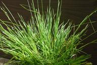 Carex albida
