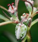 Euphorbia eriantha
