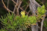 Peucephyllum schottii
