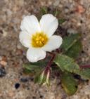 Linanthus inyoensis