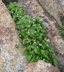 Claytonia parviflora ssp. utahensis
