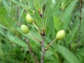 Prunus pumila