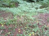Pteridium aquilinum var. latiusculum