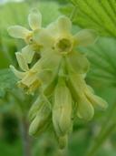 Ribes americanum P. Mill. gadellier d'Amérique [American black currant]