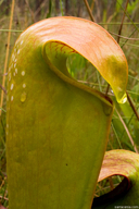 Sarracenia minor var. minor