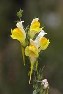 Linaria genistifolia