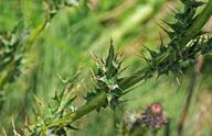 Cirsium hydrophilum