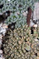 Oreonana clementis