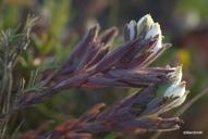 Cordylanthus maritimus ssp. maritimus
