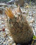 Coryphantha chlorantha