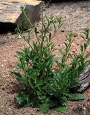 Lepidium virginicum ssp. virginicum