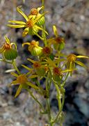 Packera eurycephala var. eurycephala