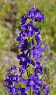 Delphinium uliginosum
