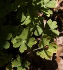 Delphinium scaposum