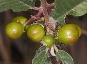 Rhamnus tomentella ssp. cuspidata