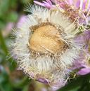 Erigeron philadelphicus