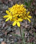 Chaenactis glabriuscula var. heterocarpha