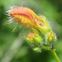 Keckiella breviflora var. breviflora