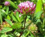 Trifolium polyodon