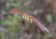Hordeum brachyantherum ssp. brachyantherum