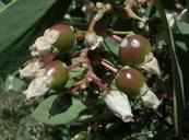 Arctostaphylos mewukka ssp. mewukka