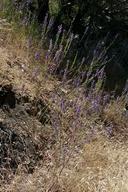 Delphinium hansenii ssp. kernense