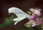 Pedicularis dudleyi