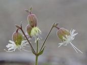 Silene campanulata ssp. glandulosa