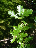Quercus garryana var. semota