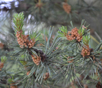Pinus sylvestris var. nevadensis